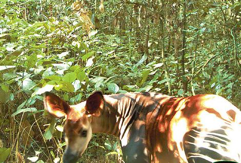 The rare okapi in the DRC
