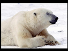 Polar bear in frozen Canada
