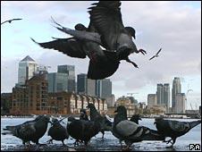 _45448293_pigeons_b226_pa1